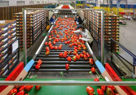 paprika-sorteerlijn